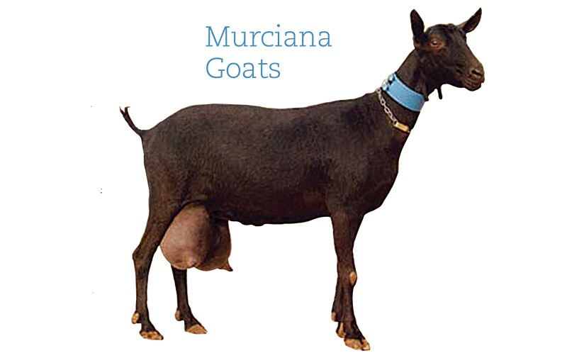 A dark-brown Murciana goat with sizeable udders.